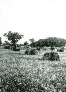 les-planes-de-lledo-1915-en-lultima-sembra-de-blat-de-moro
